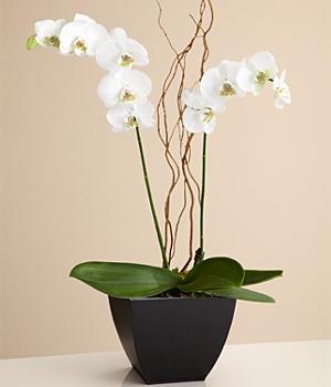 La fleur floreria envio el mismo dia orquidea en maceta - Macetas para orquideas ...